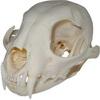 Lebka Rysa červeného