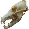 Lebka Kojota prérijního