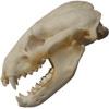 Lebka Jezevce lesního