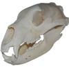 Lebka Medvěda baribala