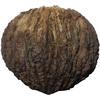Ořešák černý: ořech