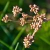 semínka: Kmín kořenný