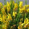 semínka: Kručinka barvířská