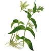 semínka: Tolita lékařská